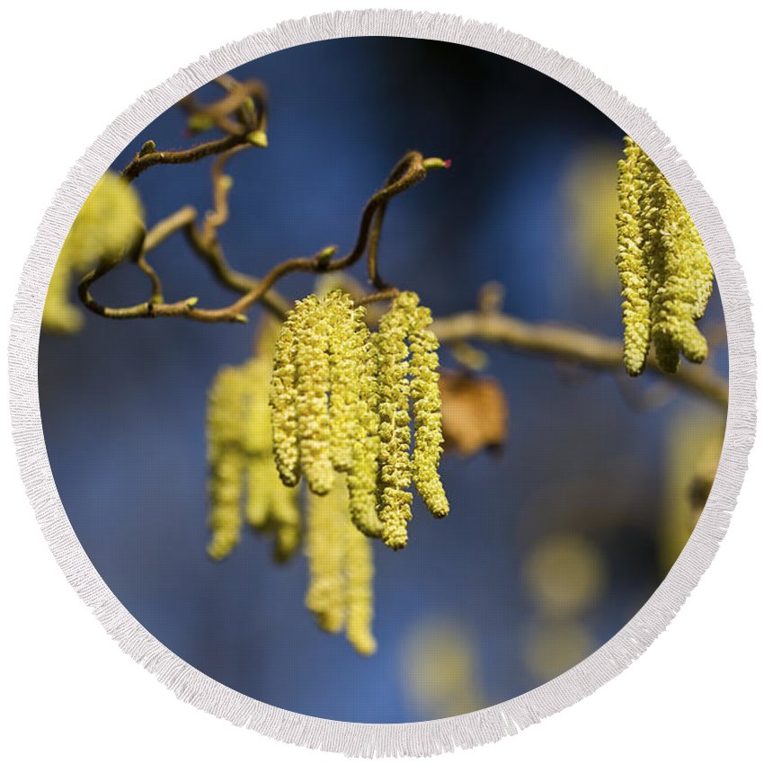 Clare Bambers Round Beach Towel featuring the photograph Contorted Hazel Catkins by Clare Bambers