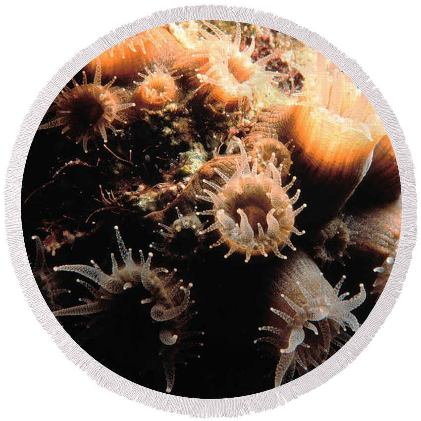 Coral Round Beach Towel featuring the photograph Coral Feeding 5 by Mike Nellums