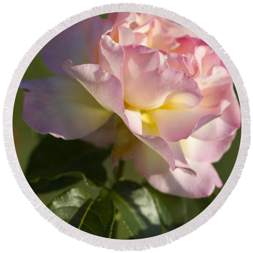 Peace Rose Round Beach Towel featuring the photograph Cotton Candy Pink Peace Rose by Kathy Clark