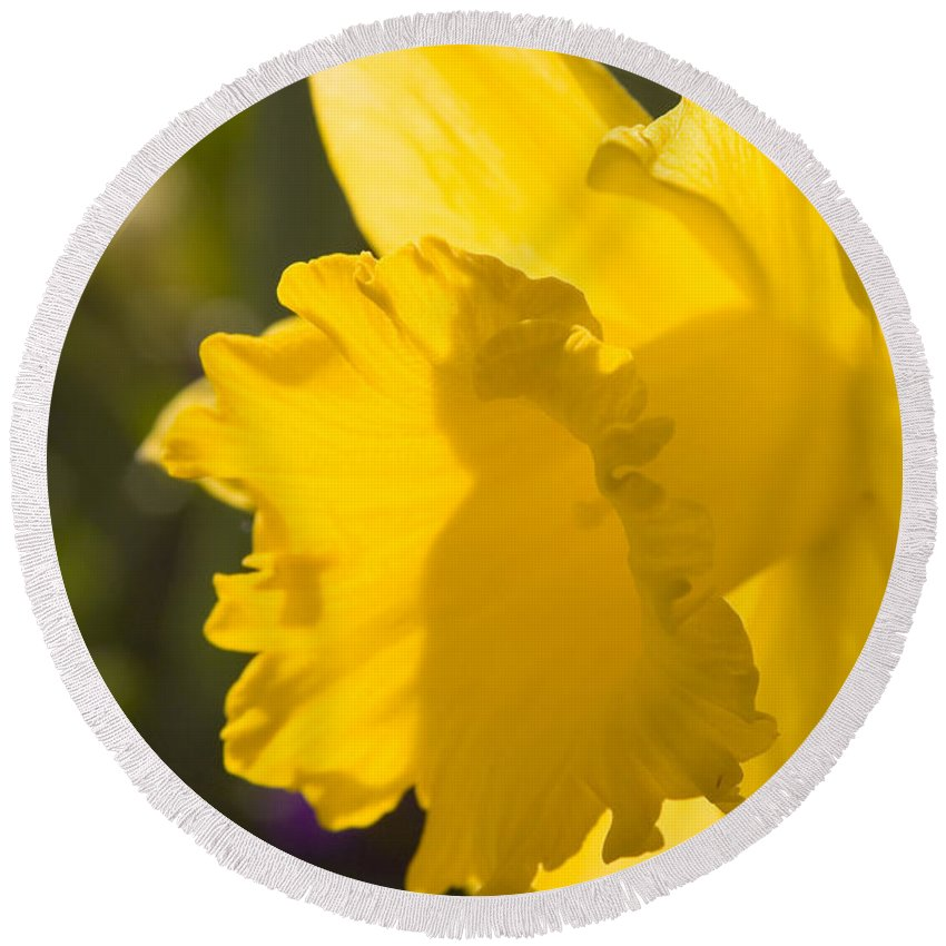 Daffodil Round Beach Towel featuring the photograph Daffodil In Sunlight by Mick Anderson