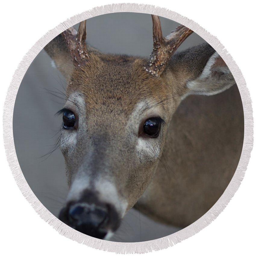 Animals Round Beach Towel featuring the photograph Deer by Jakub Sisak