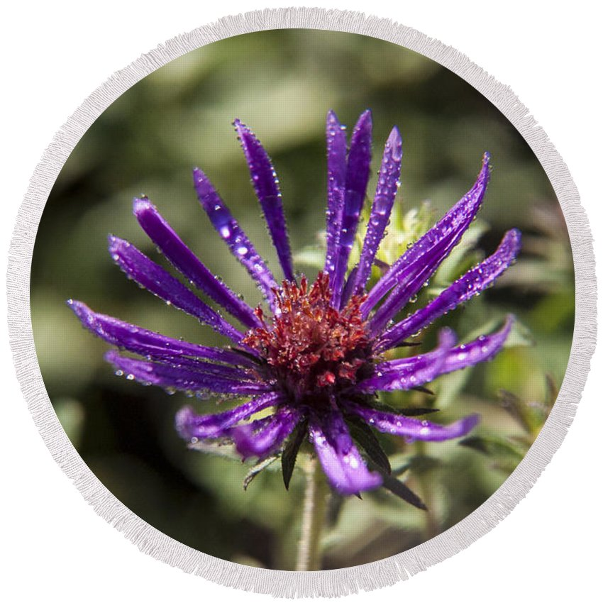 Fleabane Round Beach Towel featuring the photograph Dewy Purple Fleabane by Darleen Stry