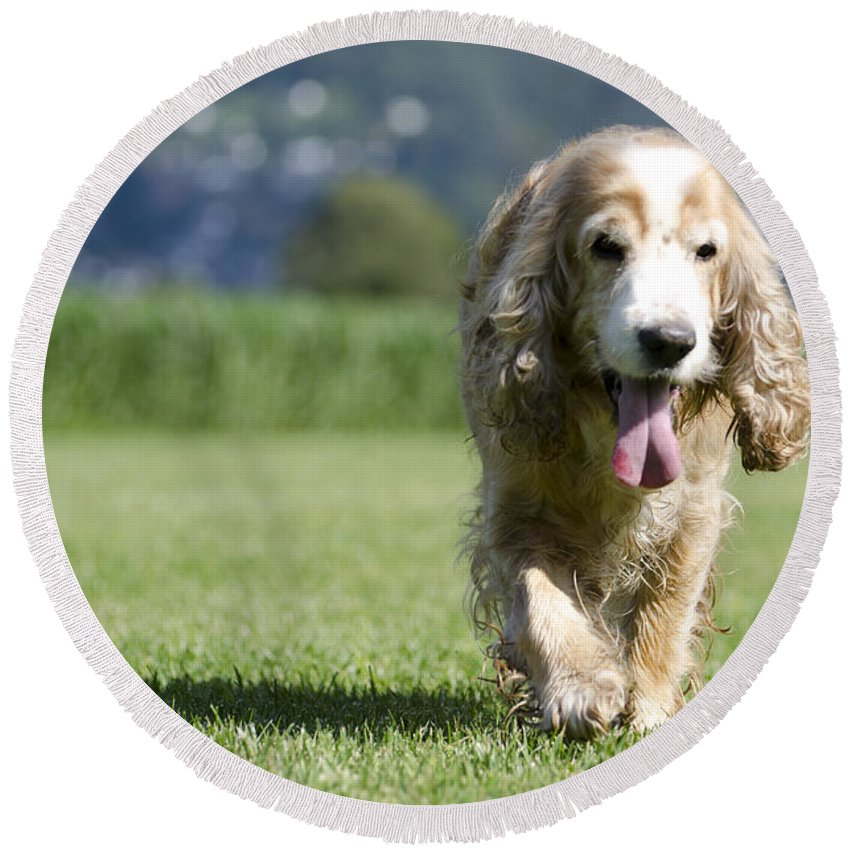 Dog Round Beach Towel featuring the photograph Dog Walking On The Green Grass by Mats Silvan