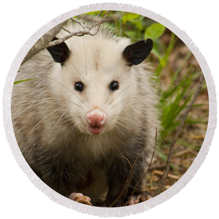 Didelphimorphia Round Beach Towel featuring the photograph Don't Mess With Me Opossum by Kathy Clark