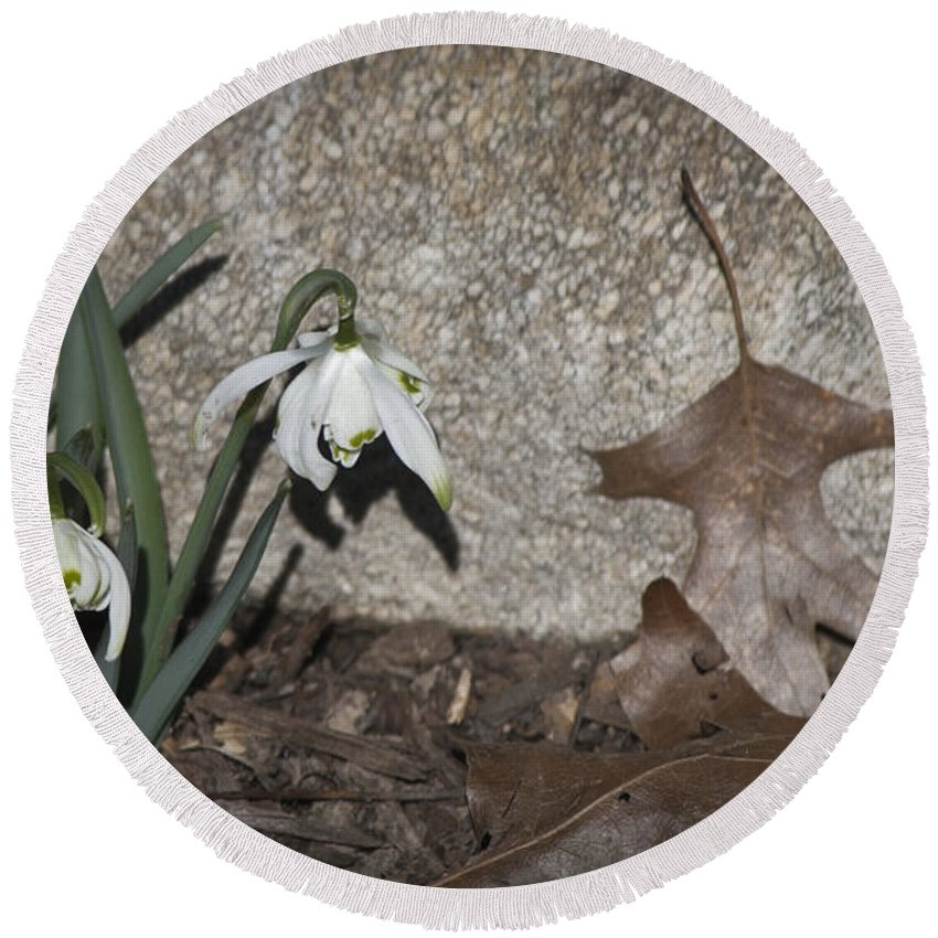 Galanthus Round Beach Towel featuring the photograph Double Snowdrops by Teresa Mucha
