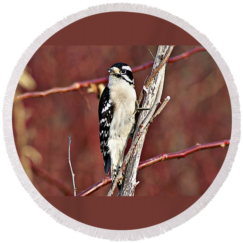 Downy Woodpecker Round Beach Towel featuring the photograph Downy Woodpecker 6 by Joe Faherty
