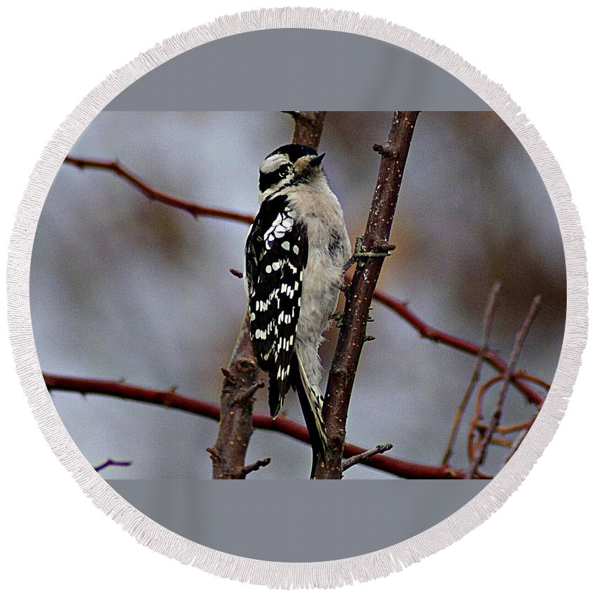 Downy Round Beach Towel featuring the photograph Downy Woodpecker 7 by Joe Faherty