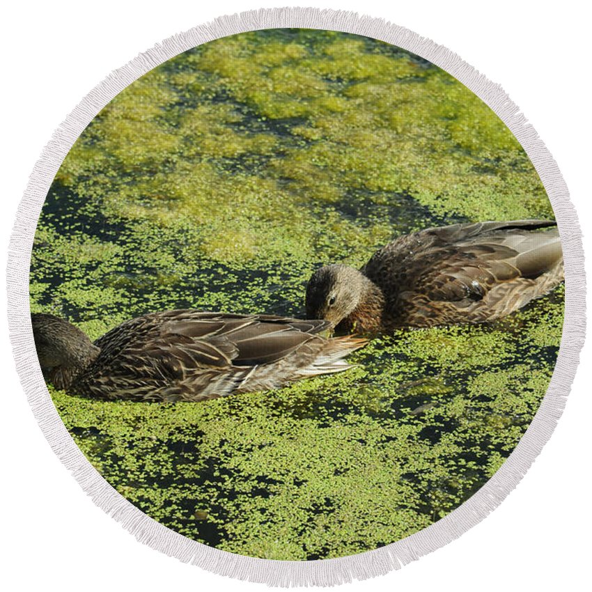 Duck Round Beach Towel featuring the photograph Duck Dinner by Elaine Mikkelstrup