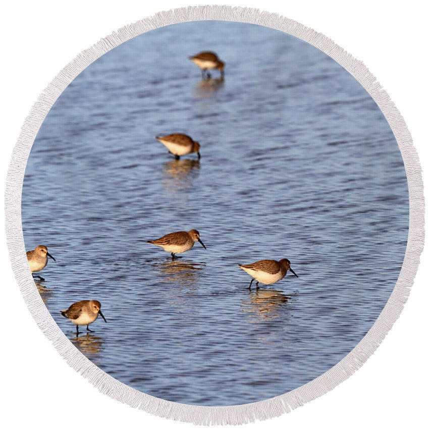 Dunlin Round Beach Towel featuring the photograph Dunlins by Louise Heusinkveld