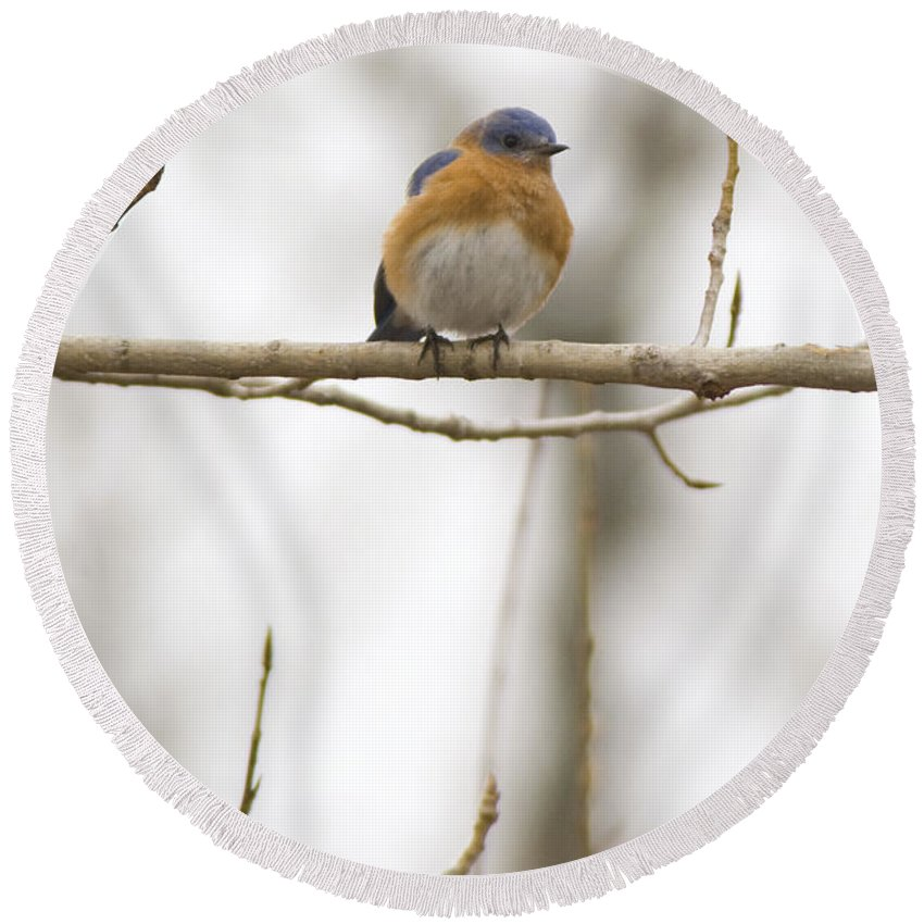 Birds Round Beach Towel featuring the photograph Eastern Blue Bird Perched by Crystal Heitzman Renskers