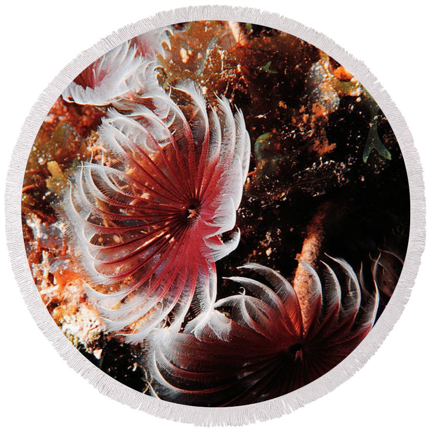 Underwater Round Beach Towel featuring the photograph Feeding Feather Dusters by Mike Nellums