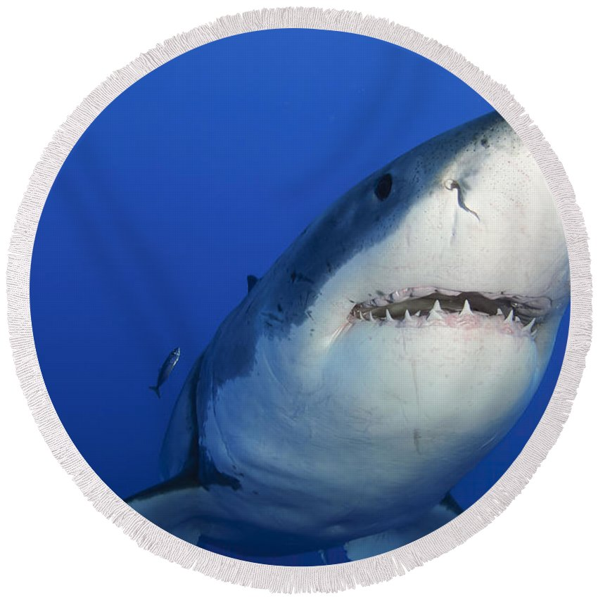 Carcharodon Carcharias Round Beach Towel featuring the photograph Female Great White Shark, Guadalupe by Todd Winner