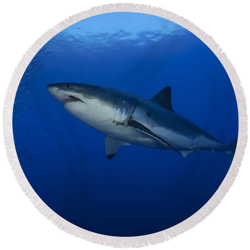 Osteichthyes Round Beach Towel featuring the photograph Female Great White With Remora by Todd Winner
