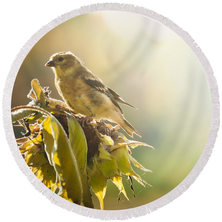Goldfinch Round Beach Towel featuring the photograph Finch Aglow by Cheryl Baxter