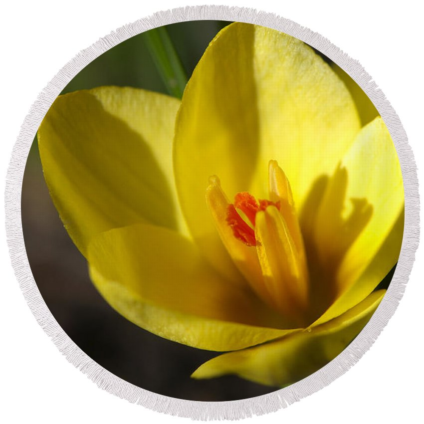 Yellow Crocus Round Beach Towel featuring the photograph First Yellow Crocus by Sharon Talson