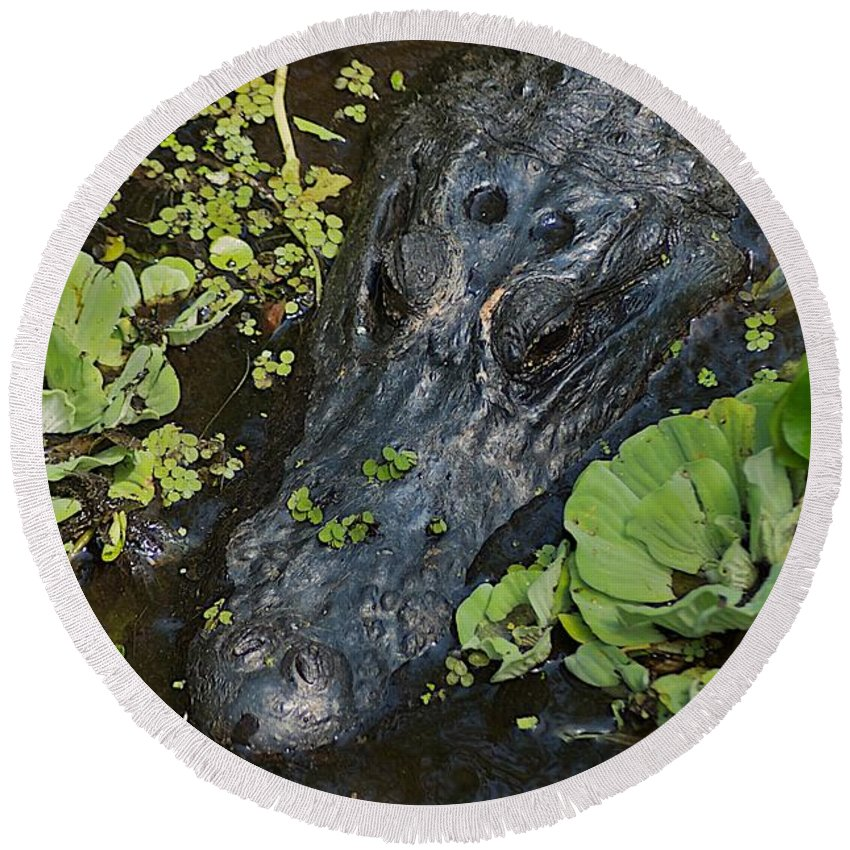 Ave Maria Round Beach Towel featuring the photograph Gator by Joseph Yarbrough