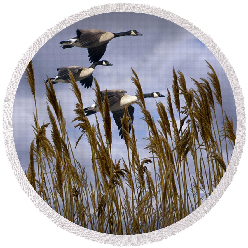 Art Round Beach Towel featuring the photograph Geese Coming In For A Landing by Randall Nyhof