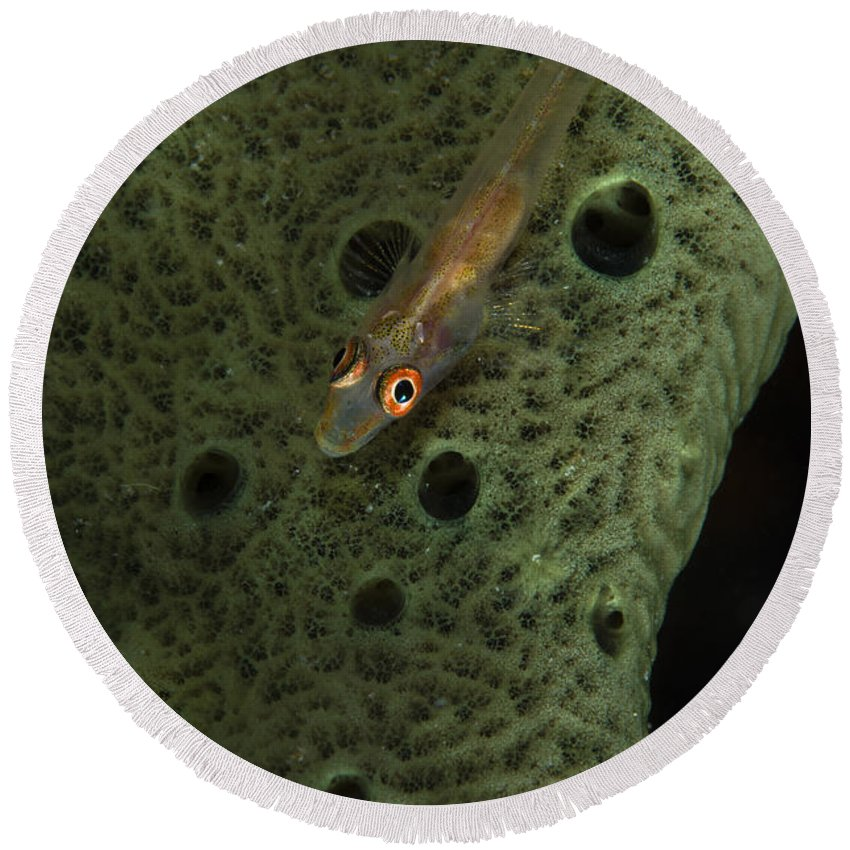 Goby Round Beach Towel featuring the photograph Goby On A Sponge, Fiji by Todd Winner