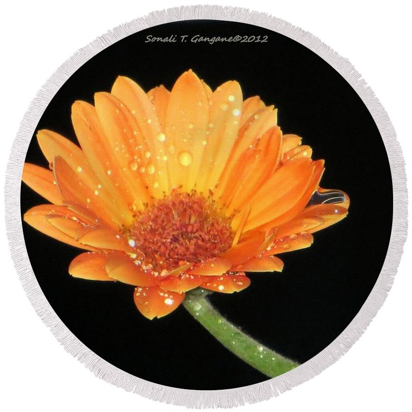 Orange Gerbera Round Beach Towel featuring the photograph Golden Droplets by Sonali Gangane