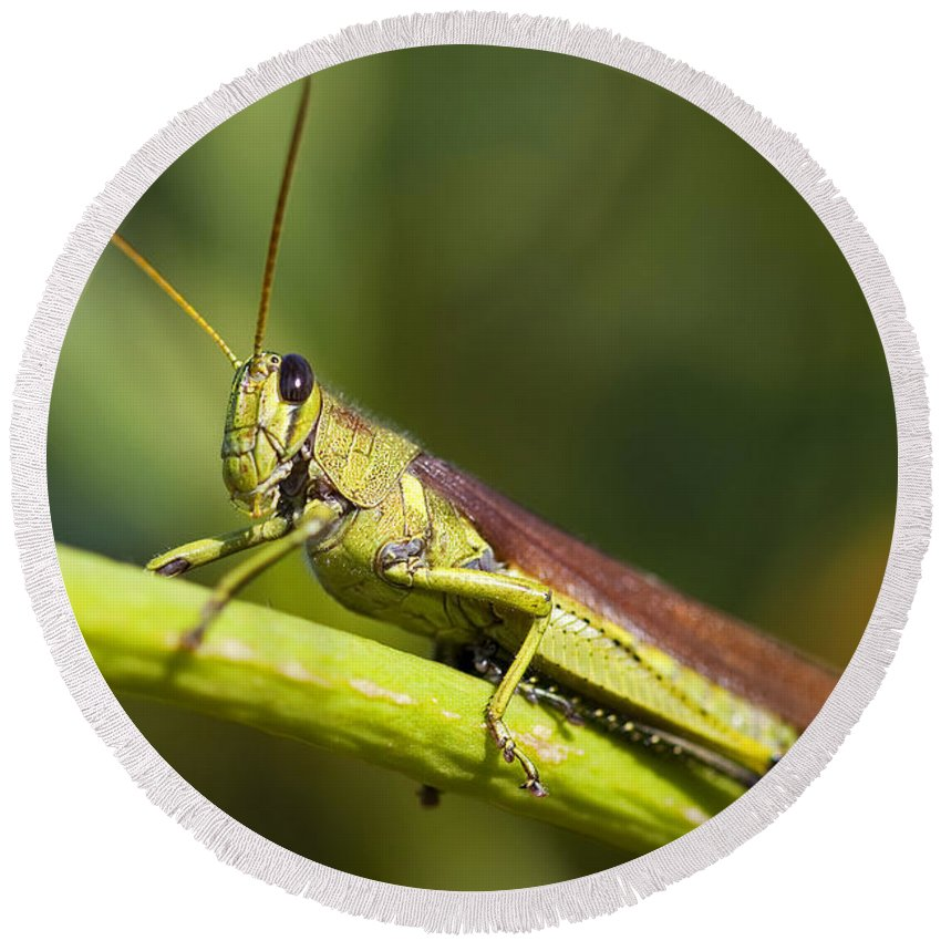 Grasshopper Round Beach Towel featuring the photograph Grasshopper by Amy Jackson