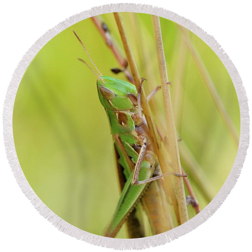 Close-up Round Beach Towel featuring the photograph Grasshopper In Green by JD Grimes