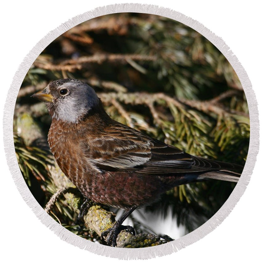 Doug Lloyd Round Beach Towel featuring the photograph Gray-crowned Rosy Finch by Doug Lloyd