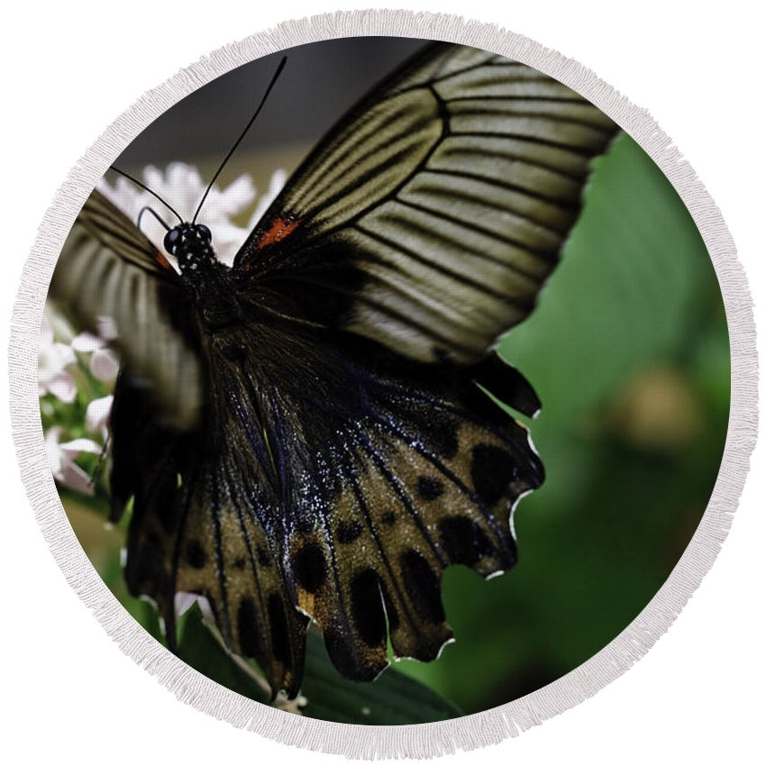 Great Mormon Round Beach Towel featuring the photograph Great Mormon Butterfly by Perla Copernik