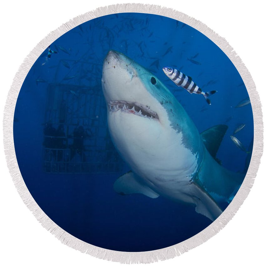 Carcharodon Carcharias Round Beach Towel featuring the photograph Great White Shark And Pilot Fish by Todd Winner