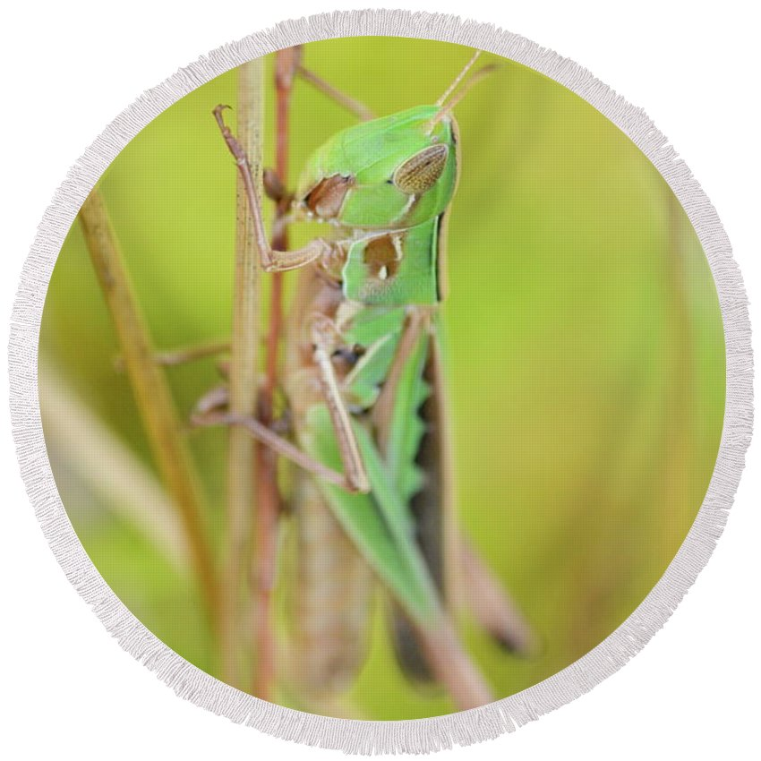 Admirable Grasshopper Round Beach Towel featuring the photograph Green Grasshopper by JD Grimes