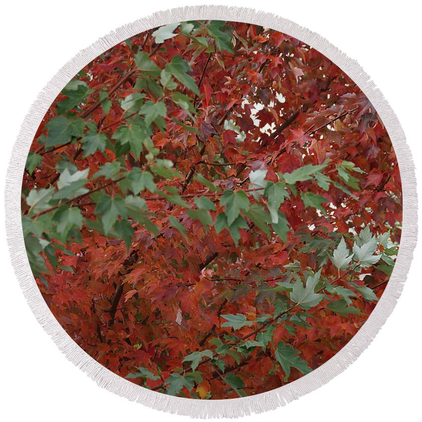 Maple Round Beach Towel featuring the photograph Green Leaves Against Red Leaves by Mick Anderson