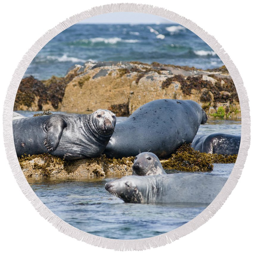 Britain Round Beach Towel featuring the photograph Grey Seals by Andrew Michael