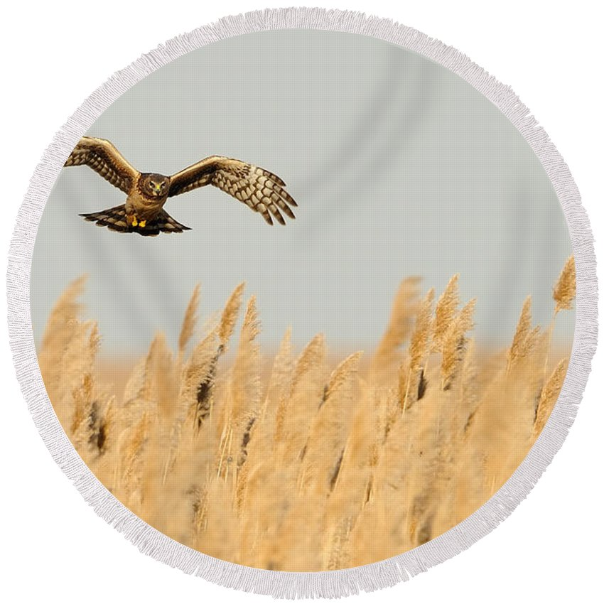Harrier Round Beach Towel featuring the photograph Harrier O'er Amber Waves by William Jobes