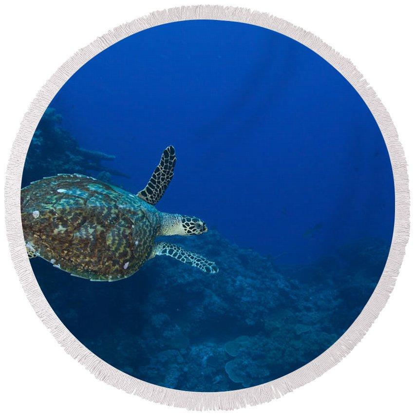 Cheloniidae Round Beach Towel featuring the photograph Hawksbill Sea Turtle, Kimbe Bay, Papua by Steve Jones