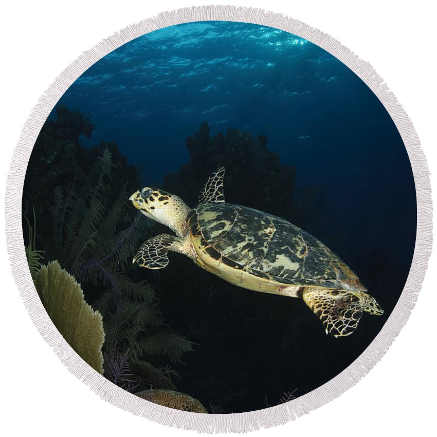 Sea Life Round Beach Towel featuring the photograph Hawksbill Sea Turtle Swimming by Todd Winner