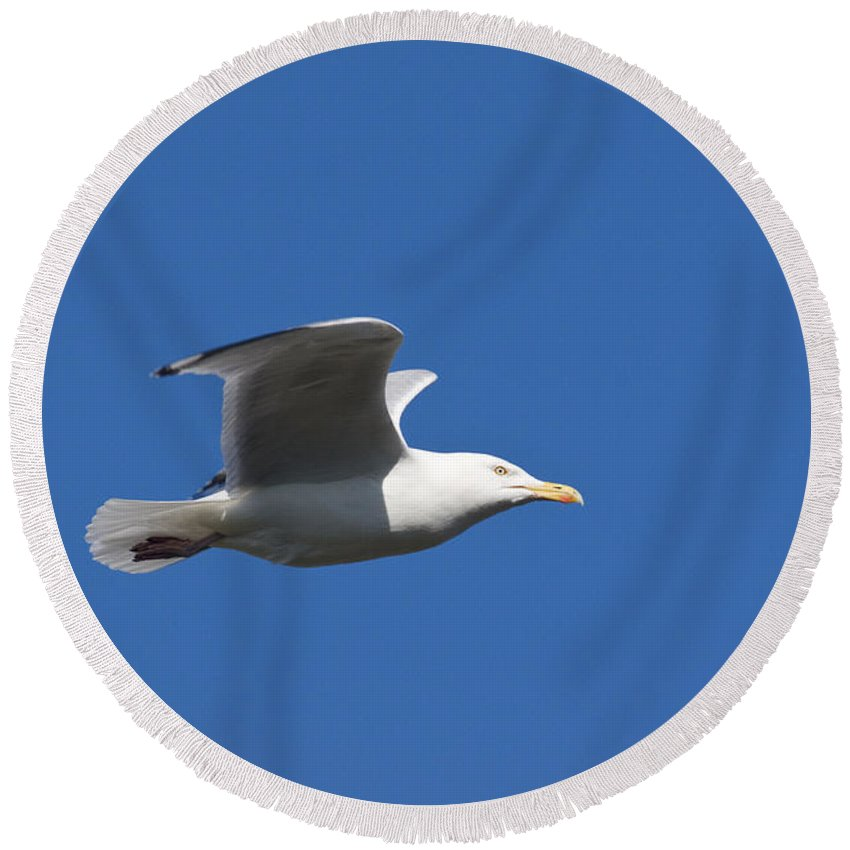 Herring Gull Round Beach Towel featuring the photograph Herring Gull In Flight by Howard Kennedy