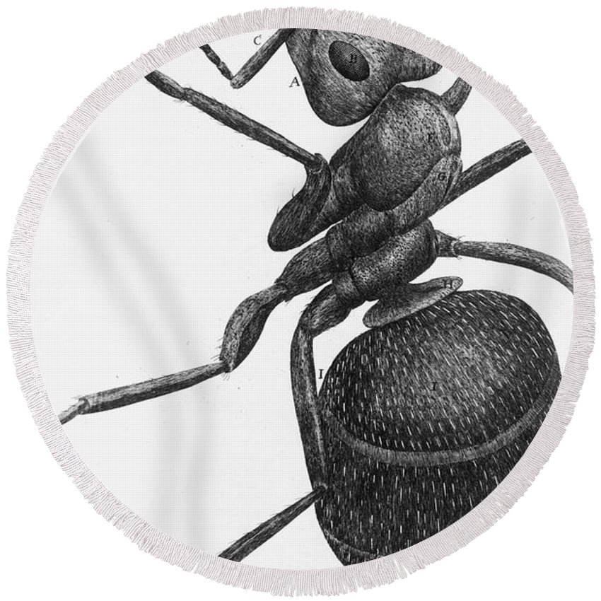 1665 Round Beach Towel featuring the photograph Hooke: Ant, 1665 by Granger