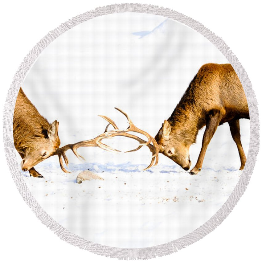 Wapiti Round Beach Towel featuring the photograph Horns A Plenty by Cheryl Baxter