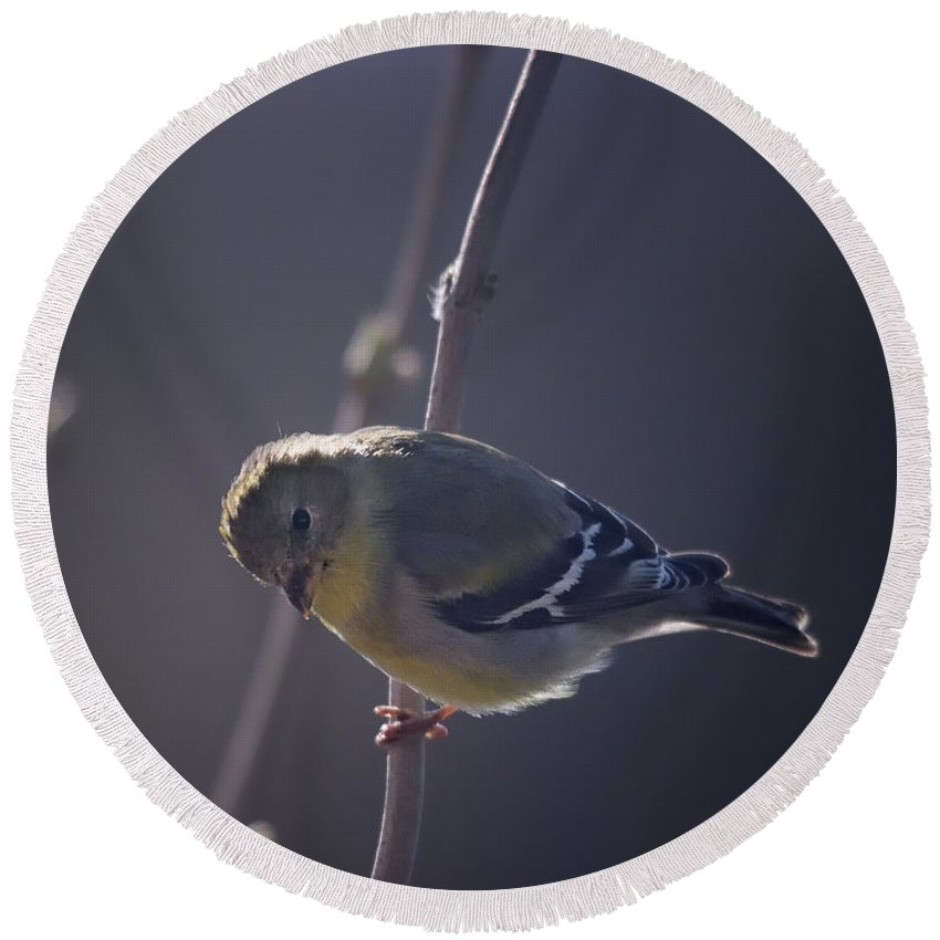 American Goldfinch Round Beach Towel featuring the photograph In The Early Morning Light by Susan Capuano