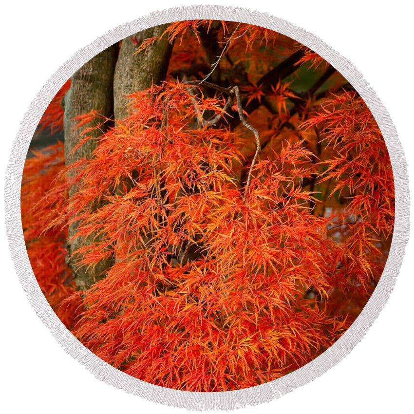 Acer Dissectum Round Beach Towel featuring the photograph Japanese Maple In Autumn by Onyonet Photo Studios