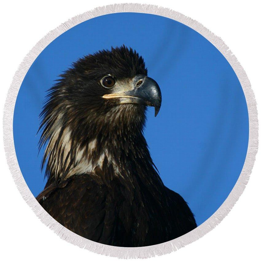 Alaska Round Beach Towel featuring the photograph Juvenile Bald Eagle by Doug Lloyd