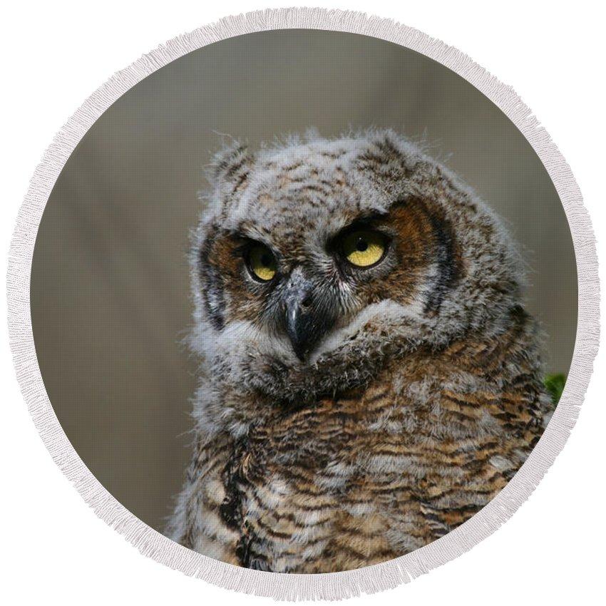 Alaska Round Beach Towel featuring the photograph Juvenile Great Horned Owl by Doug Lloyd