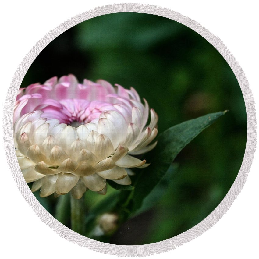 Plant Round Beach Towel featuring the photograph King Rose Strawflower by Susan Herber