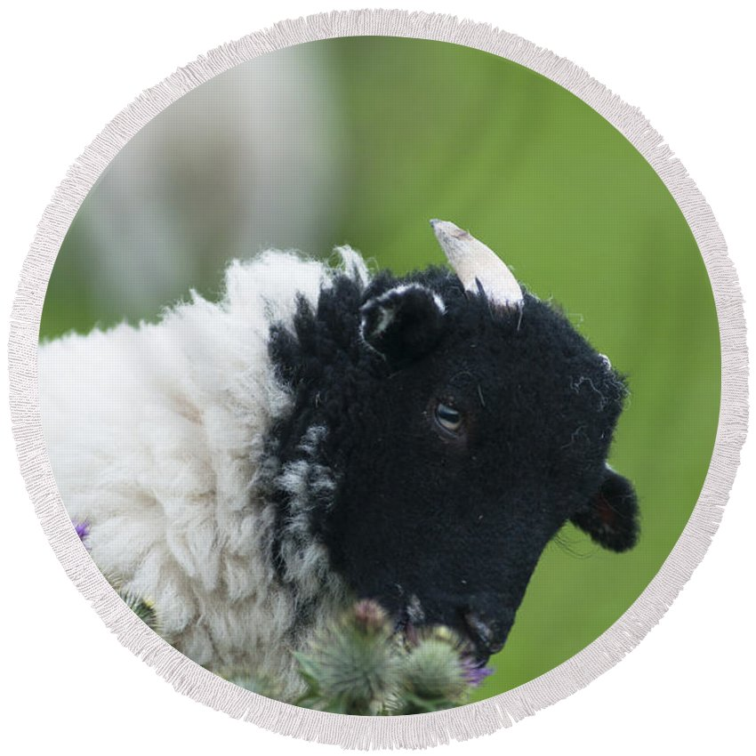 Britain Round Beach Towel featuring the photograph Lamb by Andrew Michael