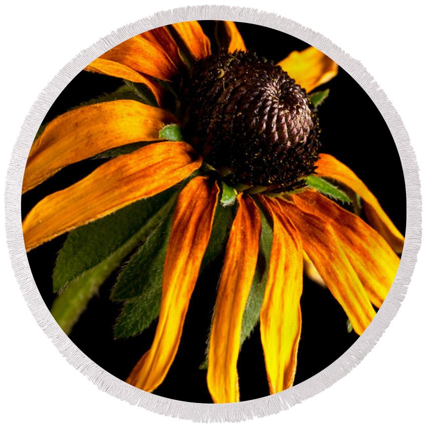 Black-eyed Susan Round Beach Towel featuring the photograph Last Day Of A Black-eyed Susan by Onyonet Photo Studios