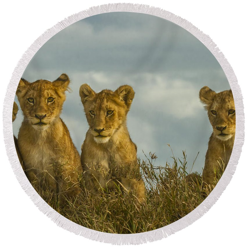 Serengeti National Park Round Beach Towel featuring the photograph Lion Cubs Serengeti National Park by Boyd Norton