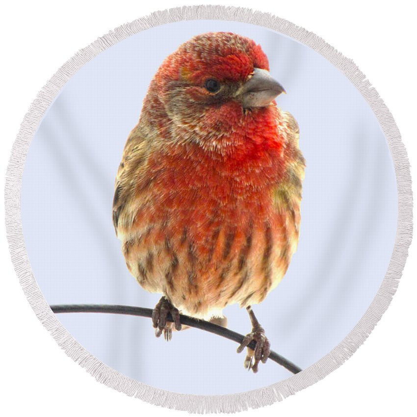 Nature Round Beach Towel featuring the photograph Little Beauty Male Finch I by Debbie Portwood