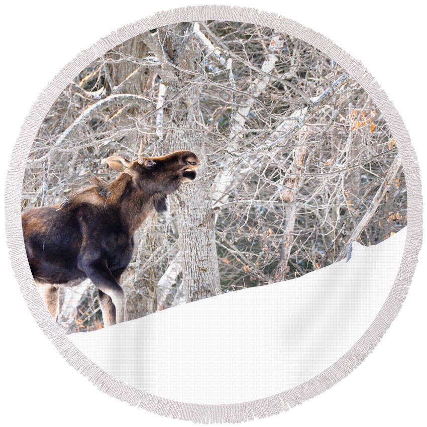 Moose Round Beach Towel featuring the photograph Looking For Supper by Cheryl Baxter