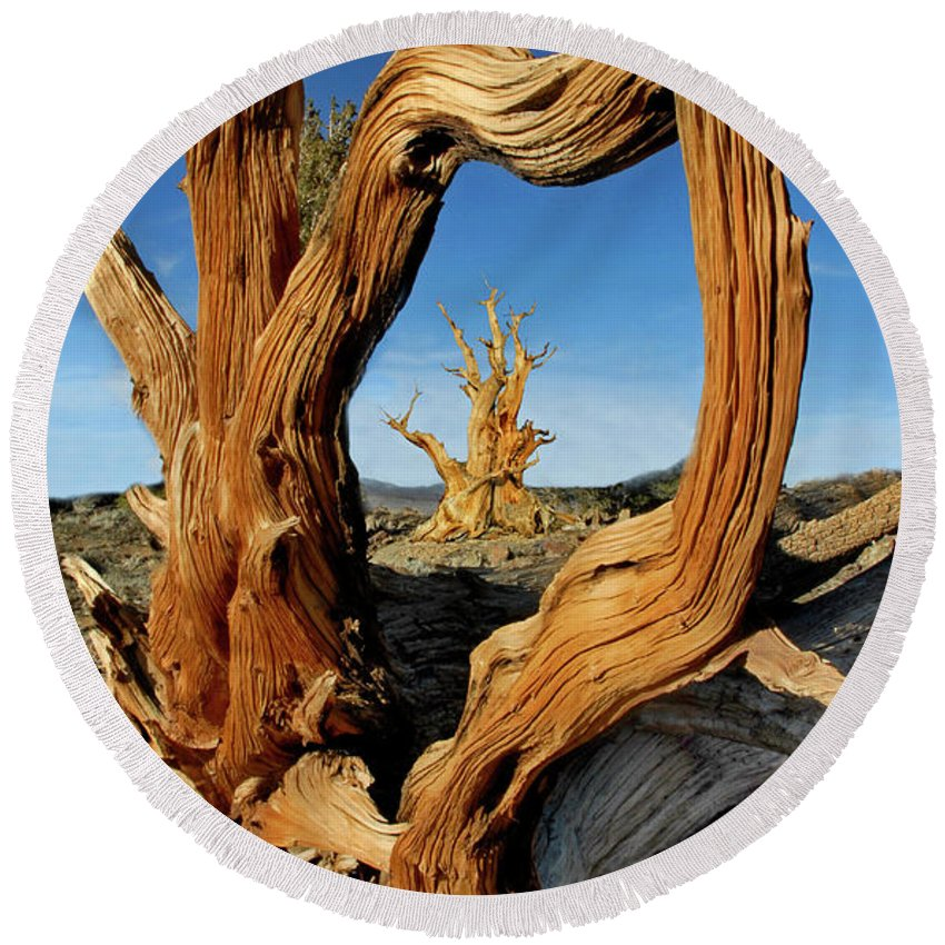 Bristlecone Pine Round Beach Towel featuring the photograph Looking Through A Bristlecone Pine by Dave Mills