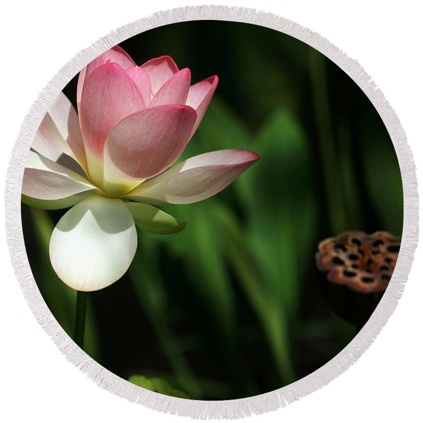 Landscape Round Beach Towel featuring the photograph Lotus Opening To The Sun by Sabrina L Ryan