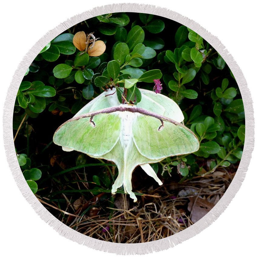 Luna Round Beach Towel featuring the photograph Luna Moths' Afternoon Delight by Carla Parris